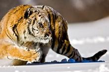 Tablou tigru 006