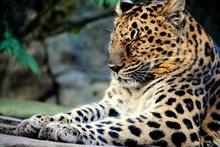 Tablou leopard 004