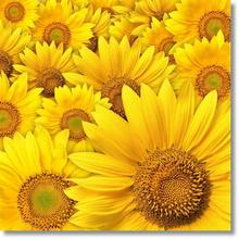 Tablou floarea soarelui 06