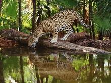Tablou leopard 014