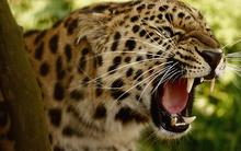 Tablou leopard 16
