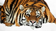 Tablou tigru 013