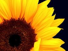 Tablou floarea soarelui 03