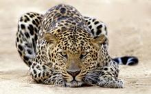 Tablou leopard 001
