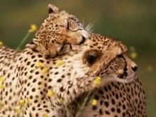 Tablou leopard 011
