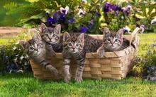Tablou pisici 007