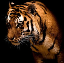 Tablou tigru 010