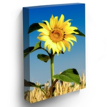 Tablou Floarea Soarelui in Belsug