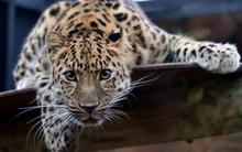Tablou leopard 008