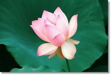Tablou lotus 04