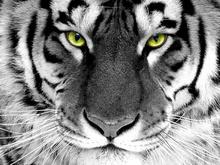 Tablou tigru 007
