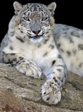 Tablou leopard 005
