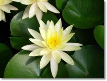 Tablou lotus 01