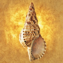 Tablou melc de mare in fundal auriu