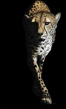 Tablou leopard 002
