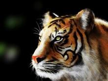 Tablou tigru 011