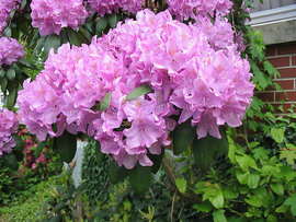 Poze Rhododendron