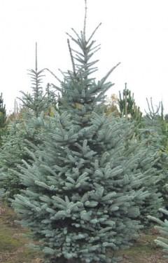 Poze Picea Pungens FAT ALBERT