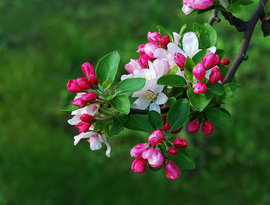 Poze Malus Floribunda (măr japonez florifer)