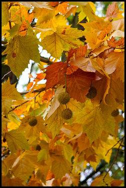 Poze Platanus Acerifolia (platan)