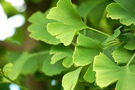 Poze Ginkgo Biloba (Arborele vieții sau Copacul lui Dumnezeu)