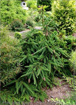 Poze Picea abies (molid)