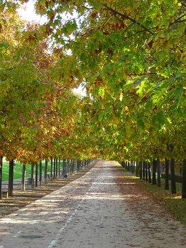 Poze Quercus Rubra (stejar roșu)