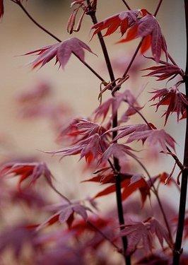 Poze Acer palmatum atropurpureum (arțar japonez)