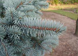 Poze Picea punges (molid argintiu)