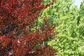 Poze Fagus Sylvatica Atropurpurea (fag roșu)