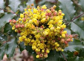 Poze Mahonia aquifolium