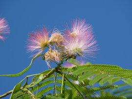 Poze Albizia julibrissin (arborele de Constantinopol sau arborele de mătase)
