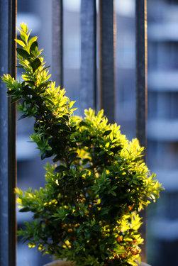 Poze Buxus sempervirens (gard viu)