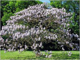 Poze Paulownia tomentosa (Arborele prințesei)