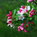 Malus Floribunda (măr japonez florifer)