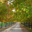 Quercus Rubra (stejar roșu)