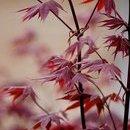 Acer palmatum atropurpureum (arțar japonez)