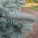 Picea punges (molid argintiu)