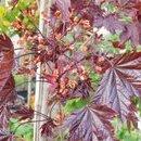Acer Crimson King (arțar roșu tufă)