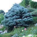 """Picea punges """"argentes"""" (molid argintiu înțepător)"""