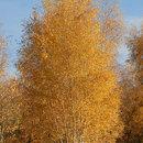 Betula pendula (mesteacăn)