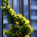 Buxus sempervirens (gard viu)