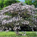 Paulownia tomentosa (Arborele prințesei)