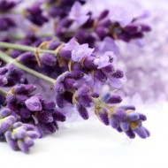 1000 Seminte Lavanda Angustifolia ( Common English ) + 50 Seminte Goji Berry + Instructiuni de Germinare si Plantare + ASISTENTA GRATUITA