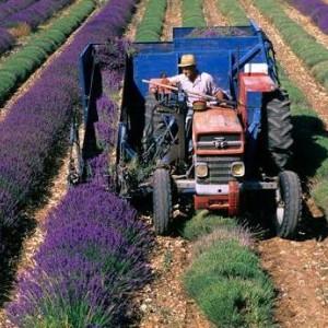 3000 Seminte Lavanda Angustifolia ( Common English ) + 500 Seminte Paulownia Tomentosa + 50 Seminte Goji Berry PLUS Instructiuni de Germinare si Plantare