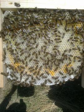 Matci fecundate (imperecheate) selectionate de vanzare cu sau fara PNA