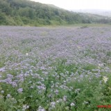 Phacelia Seeds for bees