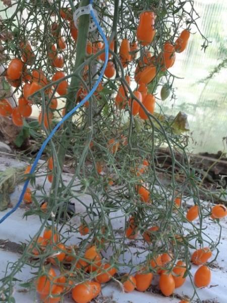 CHERI GALBENE LUNGUIETE - 100 seminte/plic (mai multe detalii...) images
