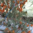 CHERI GALBENE LUNGUIETE - 100 seminte/plic (mai multe detalii...)