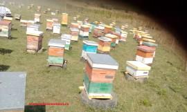 Familii de albine de vanzare la Iasi in iulie 2021 decontabile PNA